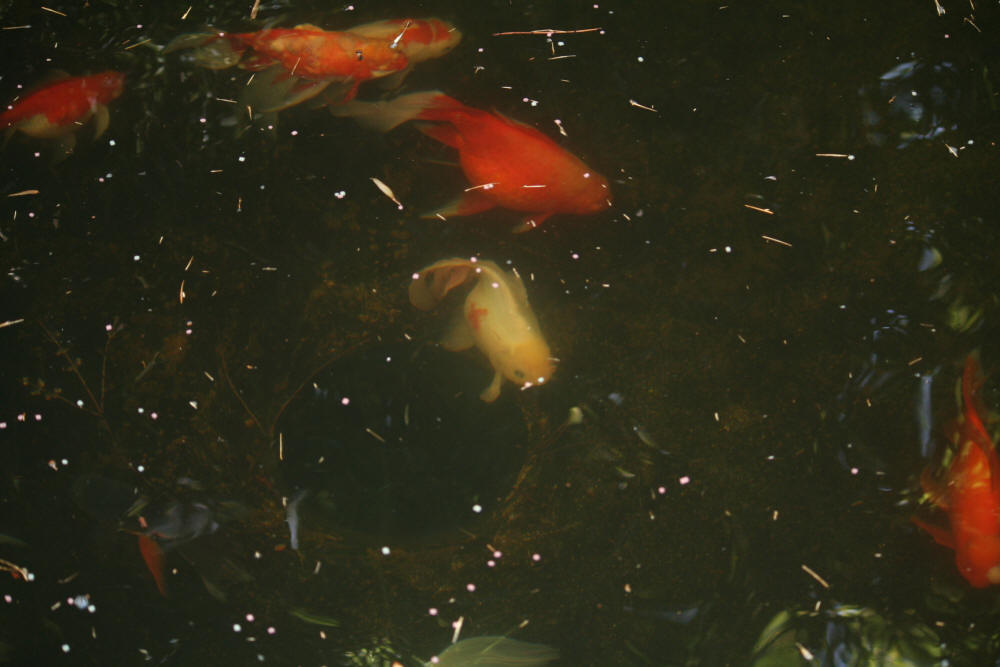 South africa 39 s wild common goldfish photo 39 s information for Koi pond designs south africa