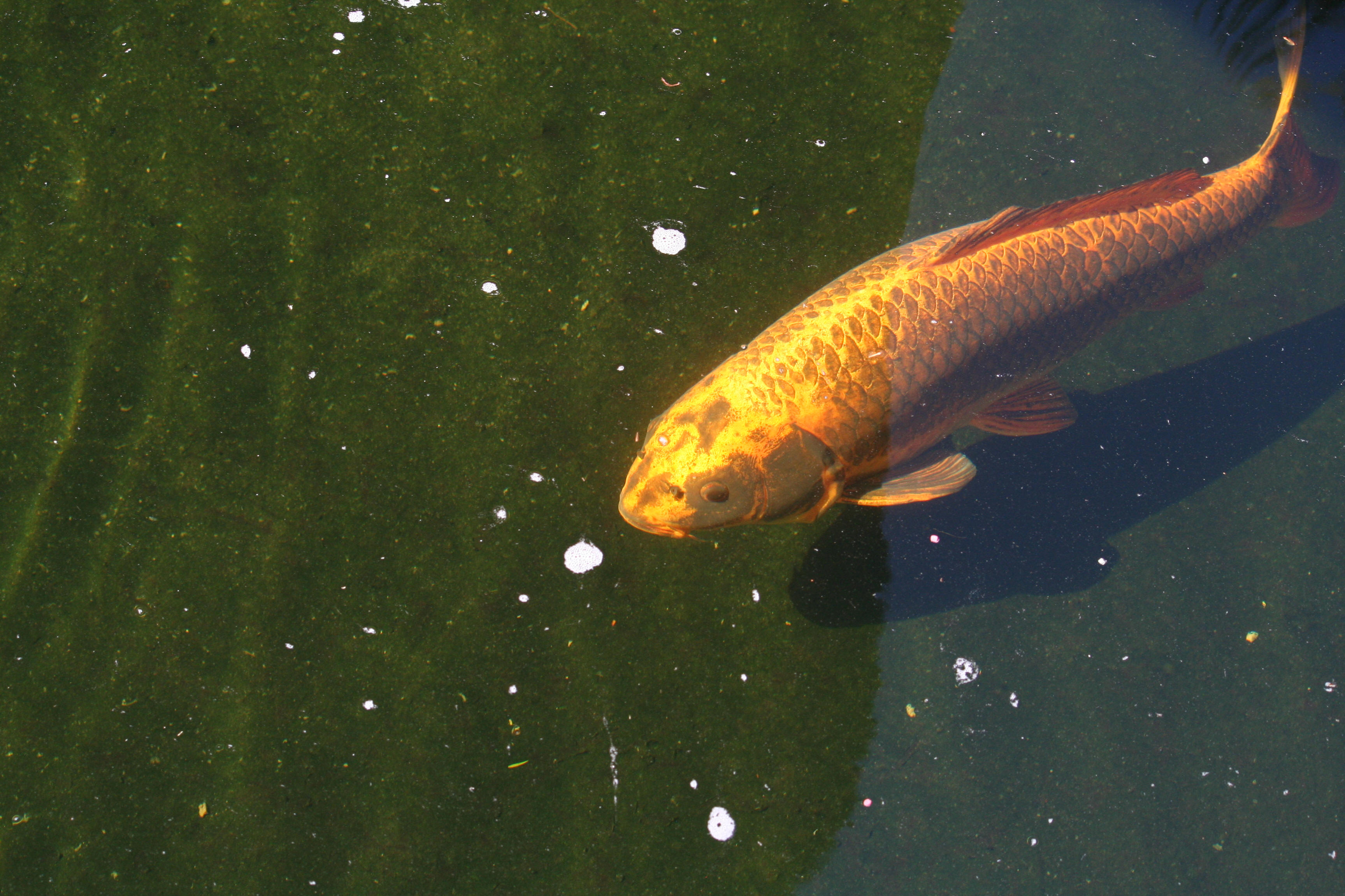 Photographs information on south africa 39 s common koi for Koi information