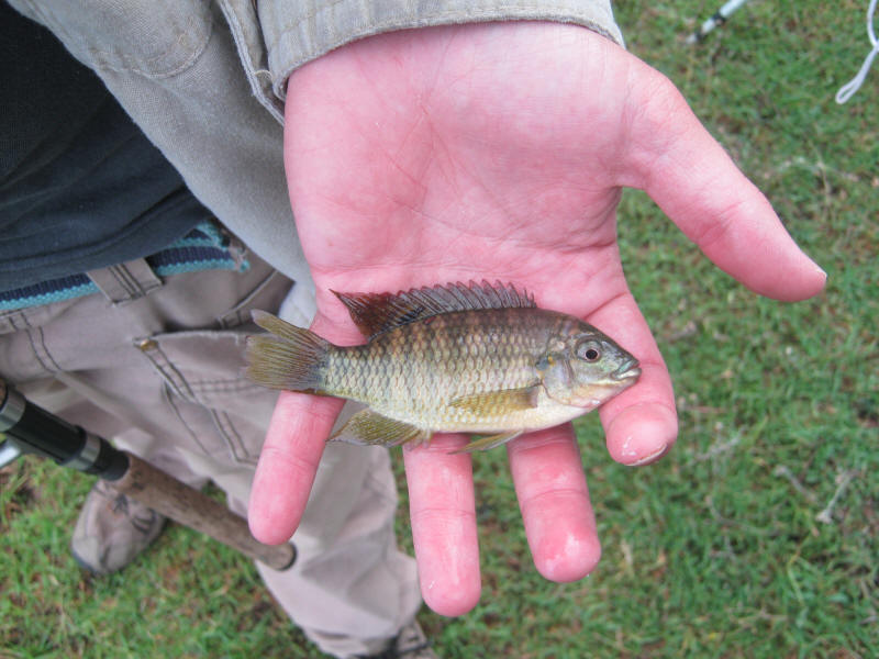 Vlei Kurper Banded Tilapia Pictures Photographs From