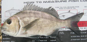 Measuring a white musselcracker