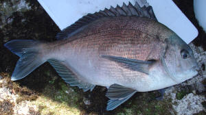 How to catch a Bronze Bream