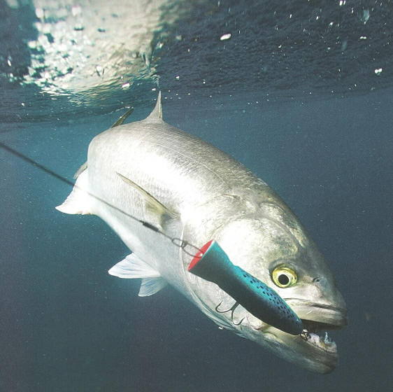 kob fishing with lures in the surf