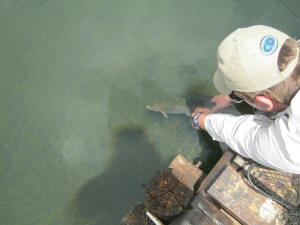 Releasing a Rainbow Trout in lake Coleridge