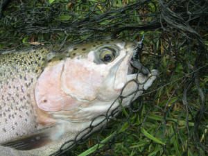 Beautiful Rainbow Trout Dullstroom