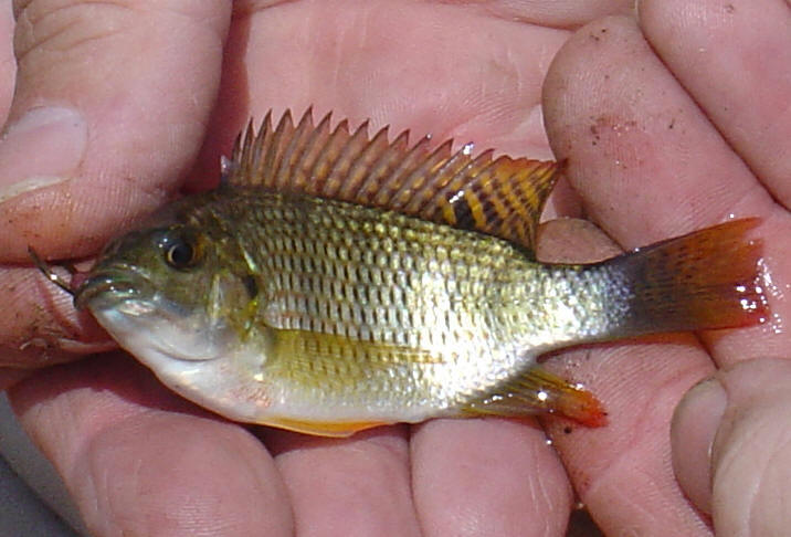 South african red breast tilapia photographs pictures for Fishing for tilapia