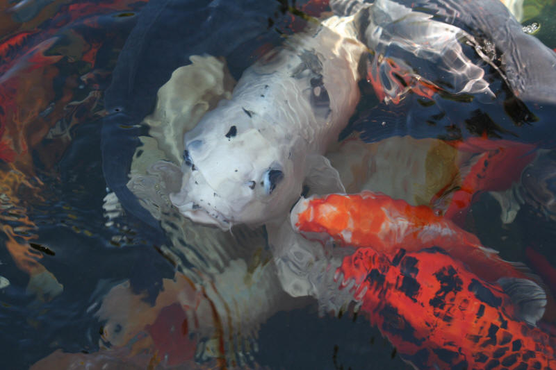 Photographs information on south africa 39 s common koi for Koi fish species