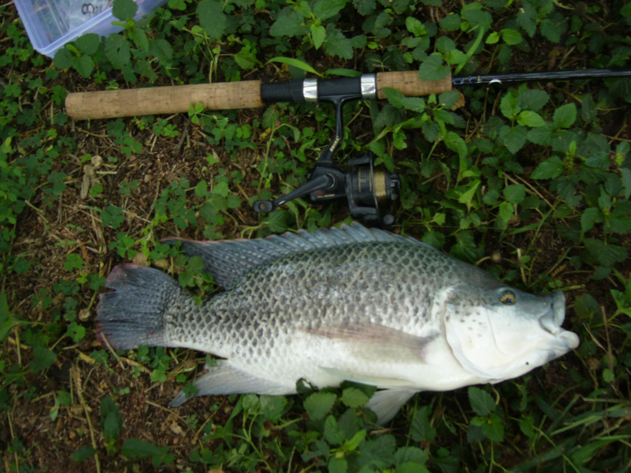 South african blue kurper pictures photos mozambique for What is tilapia fish